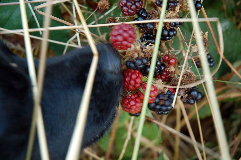 Zoe picking blackberries