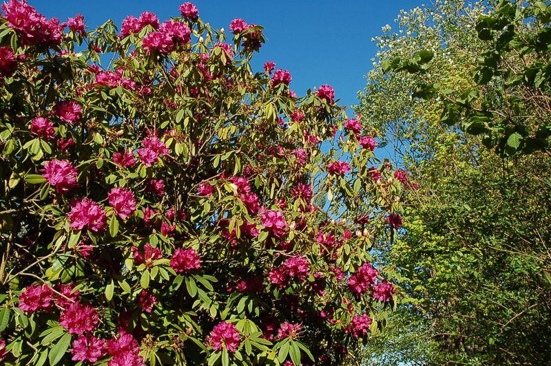 Rhododendron at grandys
