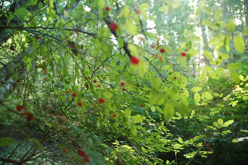 Blurry red huckleberry bush