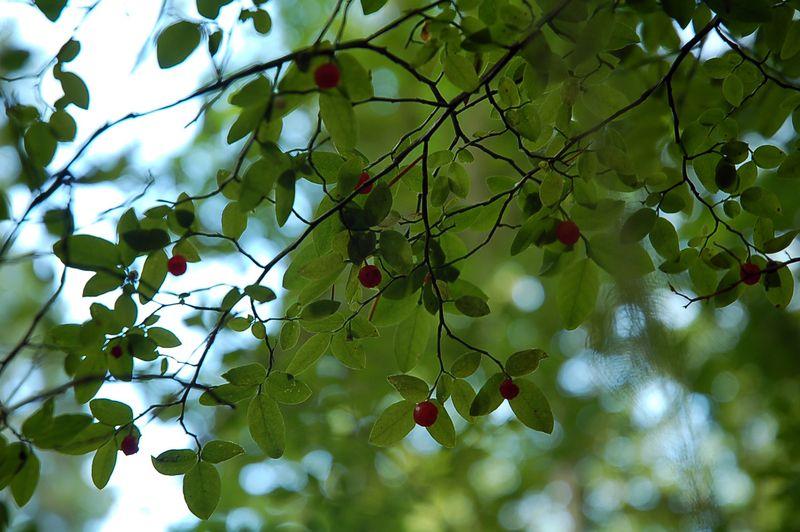 Huckleberries from below 2