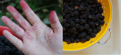 Blackberry_picking