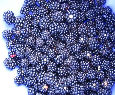 Blackberry_pickin_1