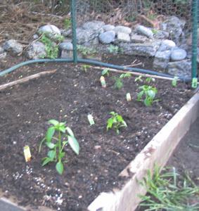 Garden_peppers